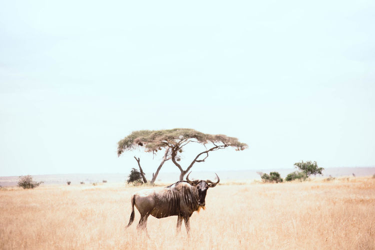 Lone Wilder-beast in the wild Wildlife Photography Animal Animal Themes Animal Wildlife Animals In The Wild Domestic Animals Environment Grass Group Of Animals Herbivorous Land Landscape Mammal Nature Outdoors Photography Plant Sky Wildebeest Wildlife
