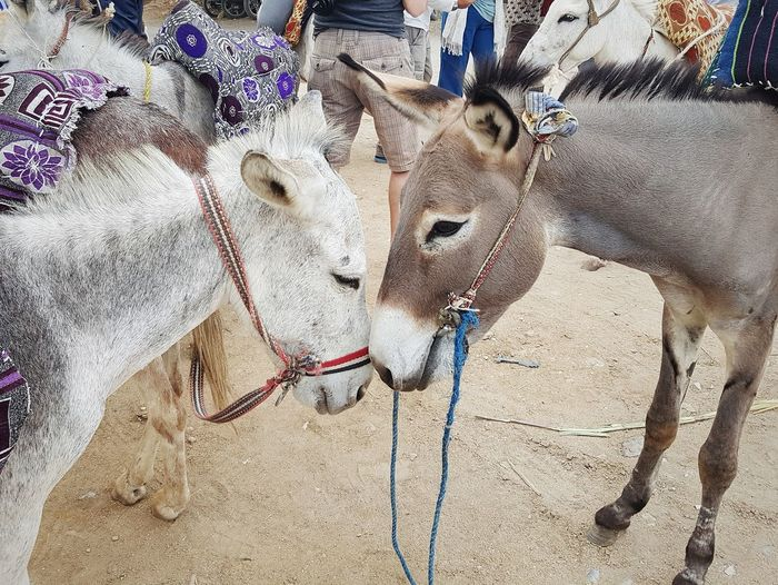 Close-up of two donkeys