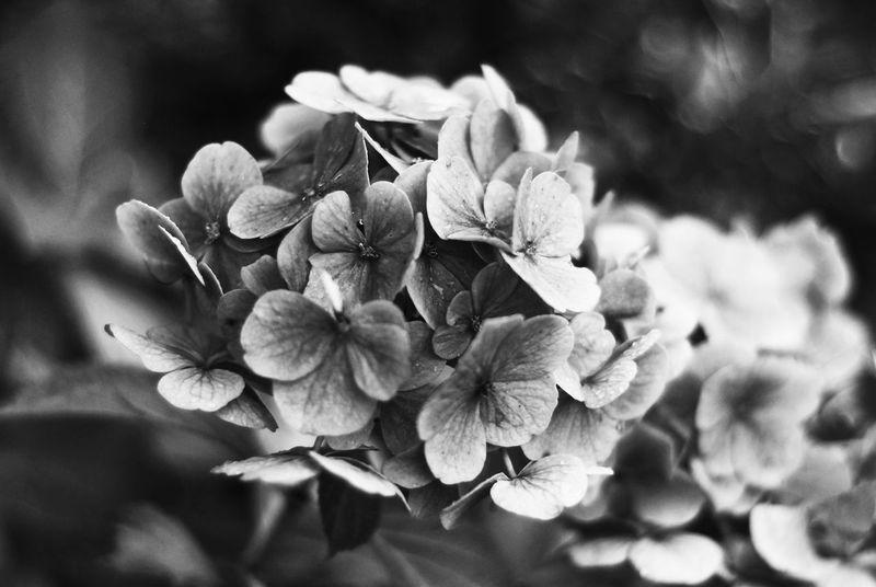 """dark blossum"" Flower Nature Plant Close-up Flower Head Petal No People Beauty In Nature Indoors  Nature Portrait EyeEm Selects The Week On EyeEm Backgrounds Blackandwhitephoto Beauty In Nature Blackandwhiteworld"