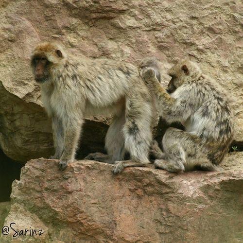 Zoo... Animal Puliziediprimavera Primati Creature bertucce amiche scimmie insta_animal