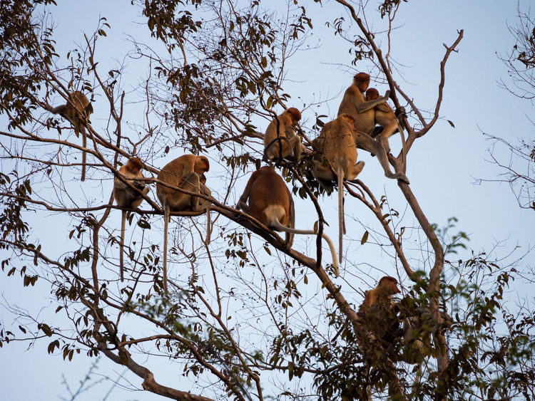 Group of Proboscis monkeys gathered in the canopy for the night in Kinabatngan Wildlife Sanctuary Borneo Kinabatangan Kinabatangan River Malaysia Monkey Monkeys Nature Outdoors Proboscis Proboscis Monkey Sabah Tree Wildlife Wildlife & Nature Wildlife Photography