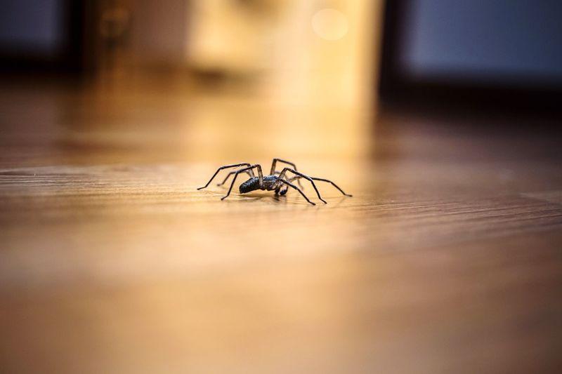 Spider on hardwood floor