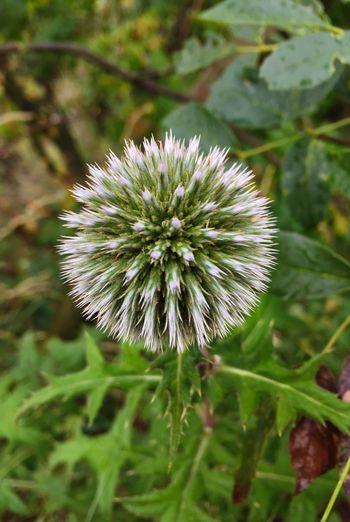 Flower Plants Sphere Perfection Is Everywhere Perfectioninnature Nature Beauty In Nature Outdoors Macro Macro Photography