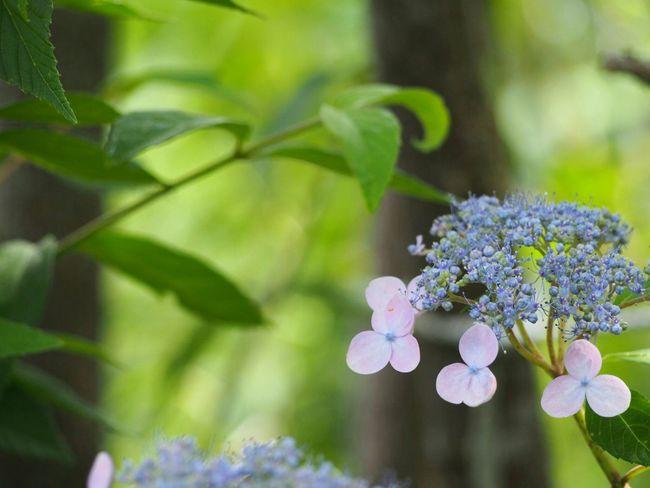 今年も優しく咲いて…そっと散っていく… 山紫陽花 あじさい 日だまり Flower Natural Blueflower Flower Collection EyeEm Nature Lover EyeEm Gallery EyeEm Best Shots