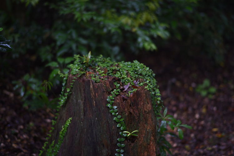 Plants growing on tree stump at forest
