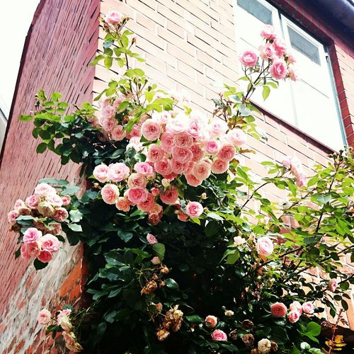Pink Roses Beautifulhome Germany Travel Photography