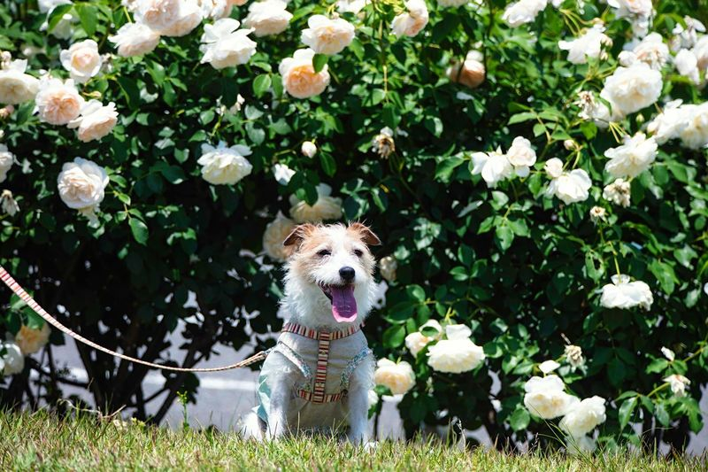 Sunlight Light - Natural Phenomenon Rose Garden Rose - Flower Dog Photography Dog Portrait Kinoko Jack Russell Terrier Canine Dog Plant Mammal Flower Flowering Plant One Animal Animal Themes Pets Animal Domestic Animals Domestic Nature No People Day Sitting Portrait Facial Expression Cute Outdoors