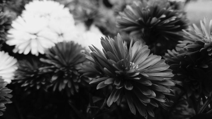 Fleurs Fleur Flowers Flower Flower Photography Nature Photography Nature Noir Et Blanc Black And White Black & White