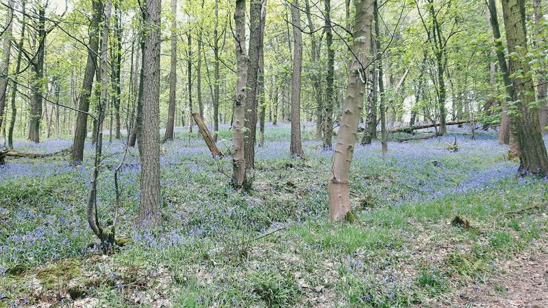 The Great Outdoors With Adobe Bluebells Bluebell Wood Bluebellwalk Walking Around