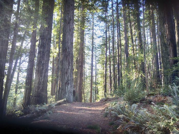 Beauty In Nature Day Forest Growth Landscape Nature No People Outdoors Redwood Trees Redwoods Scenics Sky Sun Through Trees Tranquil Scene Tranquility Tree Tree Trunk Wilderness Area WoodLand