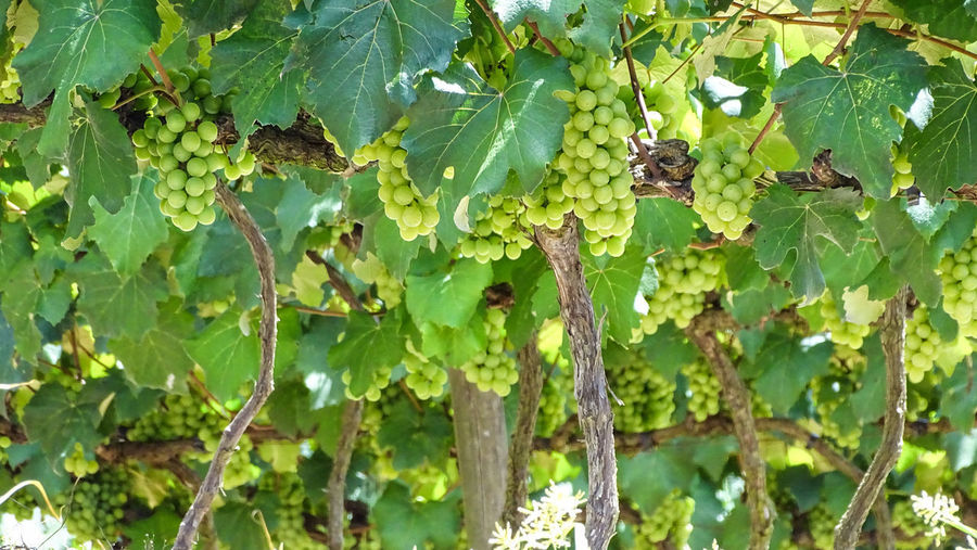 ezefer Leaf Plant Part Growth Plant Green Color Tree Fruit Day Nature Food And Drink Healthy Eating No People Food Beauty In Nature Freshness Close-up Outdoors Branch Vineyard Grape Winemaking Jundiaí Winery Grapes