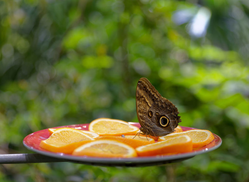 A butterfly needs her orange breakfast. Pentax PENTAX K-1 San Francisco California Bay Area USA Pentax 24-70 F/2.8 Insect Orange Science Museum  Butterfly Eye Leaves No People Citrus Fruit Close-up Day Focus On Foreground Food Food And Drink Freshness Fruit Healthy Eating Nature No People Outdoors SLICE Tree Green Color