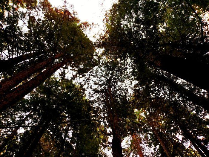Mendocino Redwoods Tree Full Frame Sky