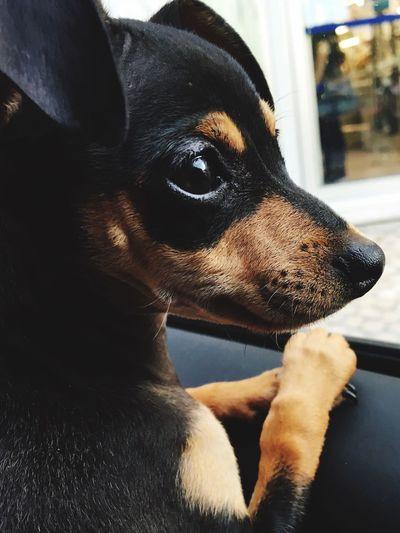 Channel - my little pinscher 🐾 Dog Pinscher Channel No People