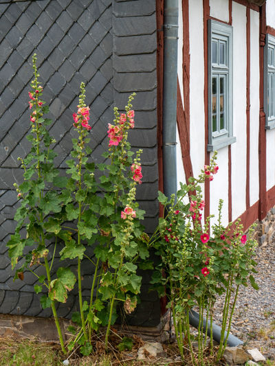 LWL Open Air Museum Detmold Building Exterior Plant Built Structure Growth Architecture Building Plant Part Nature Leaf Day No People Flower Outdoors Green Color Freshness Flowering Plant Beauty In Nature City House Sunlight Church Malvaceae