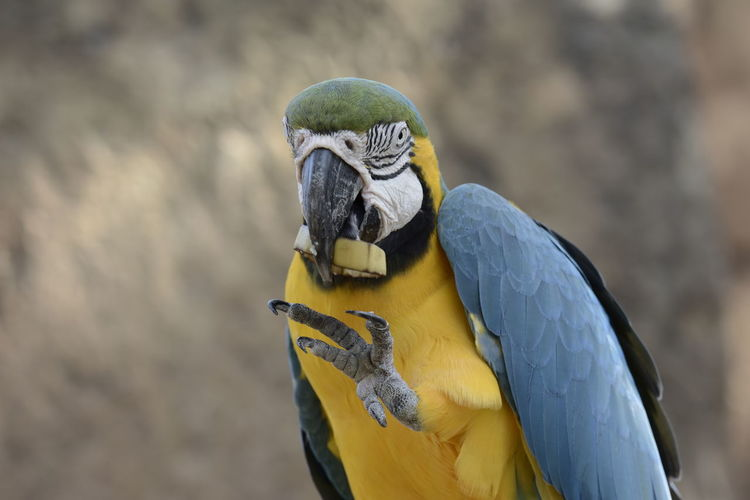 Birdwatching Macaw Bird Parrot Gold And Blue Macaw Blue Yellow Beak Multi Colored Feather  Close-up Tropical Bird Perching