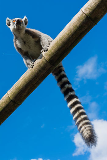 Ring-tailed lemur (Lemur catta) during a summer day Cross Ring-tailed Lemur Animal Themes Animal Wildlife Animals In The Wild Blue Branch Catta Climbing Day Lemur Lemur Catta Lemuridae Madagascar  Madagaskar Mammal Nature No People One Animal Outdoors Portrait Primate Sky