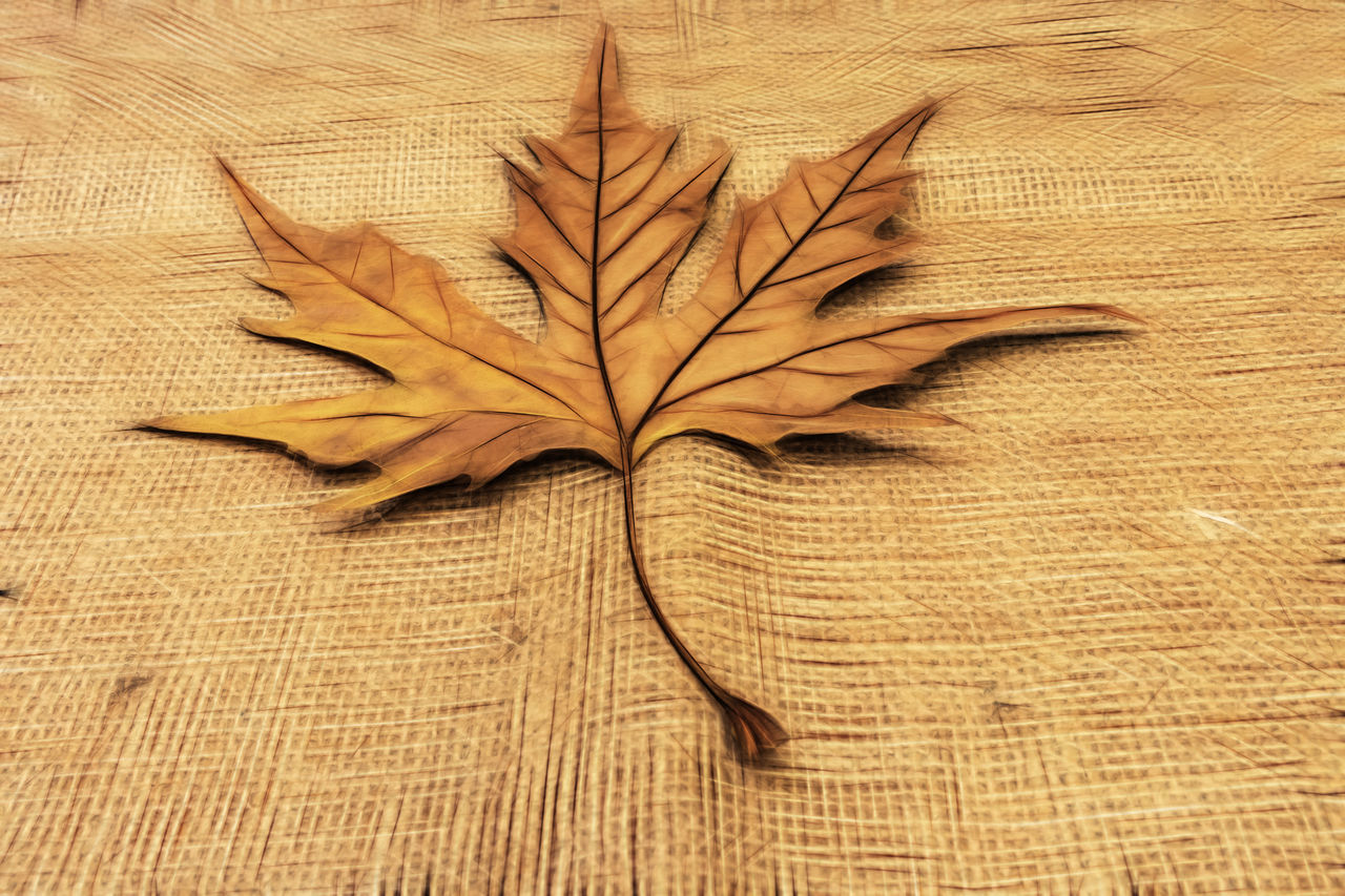 leaf, plant part, close-up, no people, brown, high angle view, directly above, yellow, indoors, still life, dry, pattern, vulnerability, nature, wood - material, single object, autumn, fragility, plant, day, maple leaf
