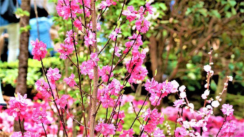 The Sakura blossoms in the Gardens by the Bay in Singapore Cherry Blossoms Gardens By The Bay Nature Sakura Sakura Flower Sakura Trees Beauty In Nature Buds And Blooms Cherry Tree Flower Photography Gardens Pink Flowers Sakura Blossom