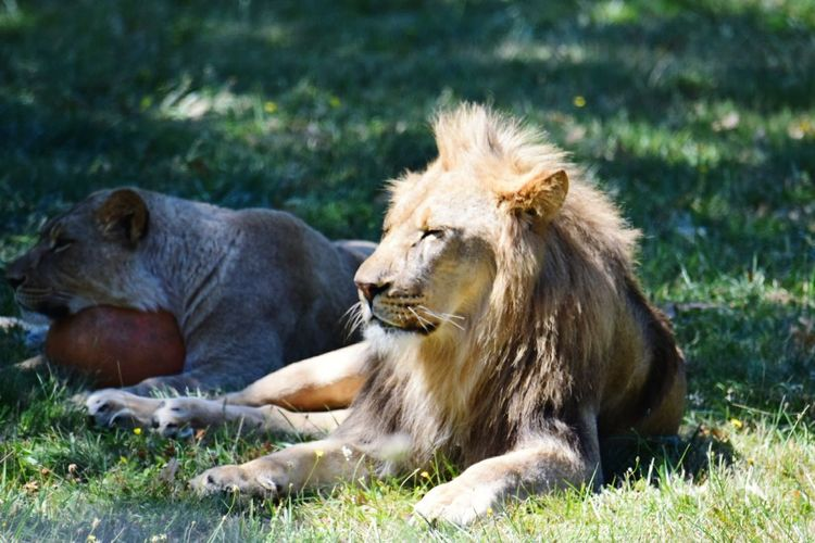 Lion And Lioness Sitting On Grassy Field