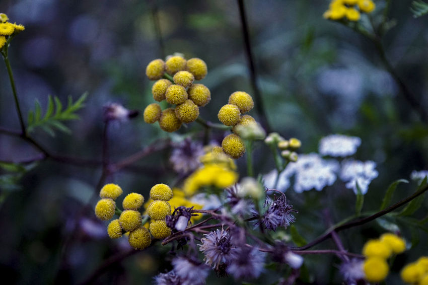 Beauty In Nature Blossom Branch Close-up Day Flower Flower Head Flowering Plant Focus On Foreground Fragility Freshness Fruit Growth Nature No People Outdoors Plant Selective Focus Tree Vulnerability  Yellow