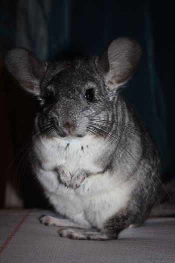 Italia Pets Animal Chinchilla Gray Furry Mammal Animal Themes Zoophotography Domestic Animals