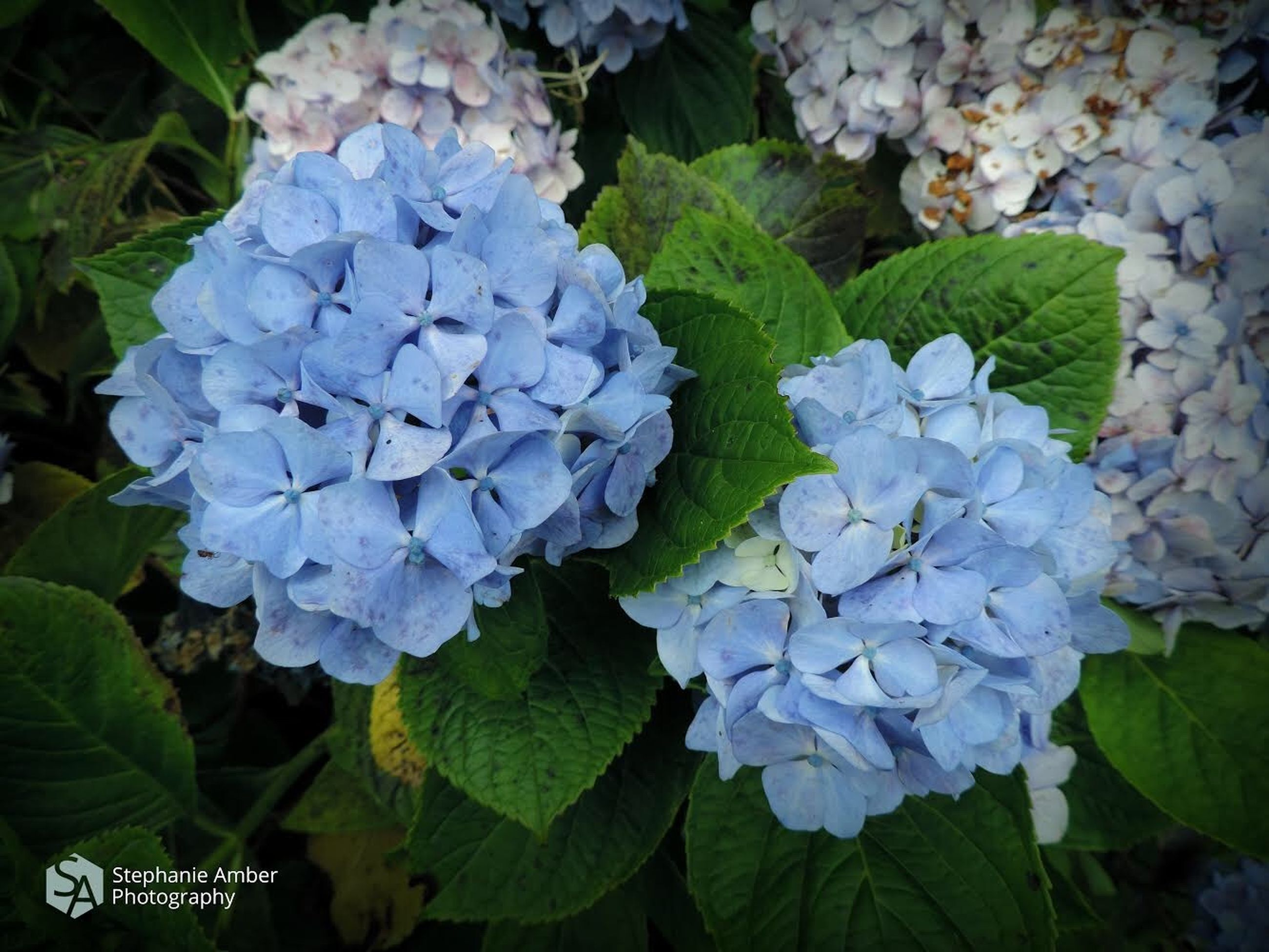 plant, beauty in nature, leaf, flowering plant, plant part, vulnerability, flower, growth, freshness, petal, fragility, hydrangea, close-up, nature, flower head, inflorescence, blue, day, purple, green color, no people, outdoors, bunch of flowers, lilac