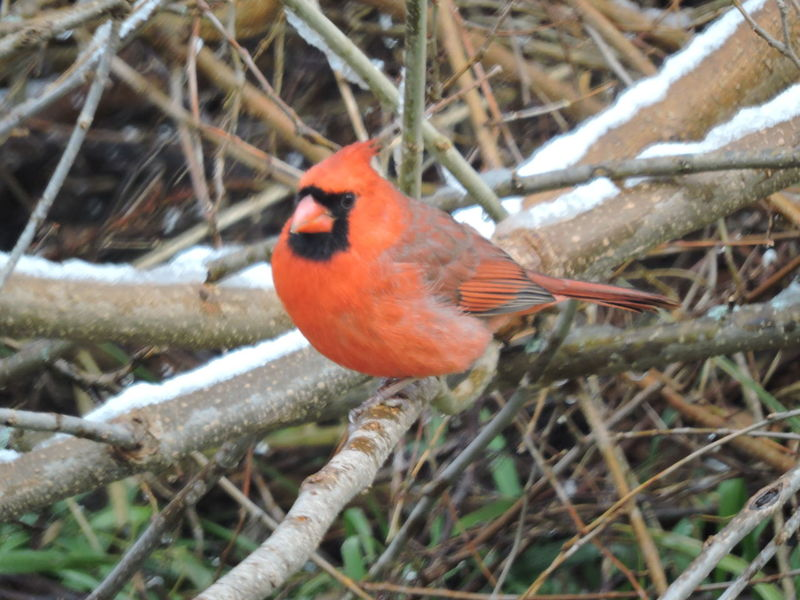 Out My Back Window Snow Covered Branch Animal Themes Animal Wildlife Animals In The Wild Beauty In Nature Bird Branch Cardinals Close-up Cold Temperature Day Nature No People One Animal Outdoors Perching Red Robin Snow Tree Winter
