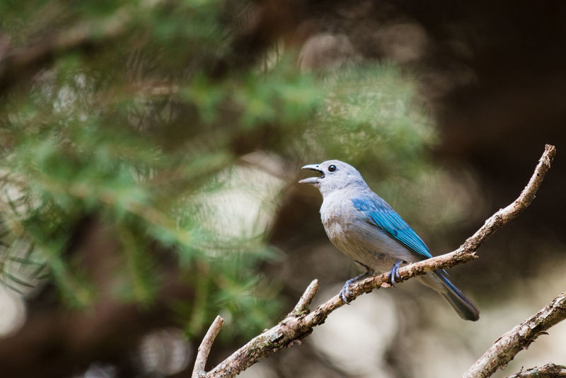 Beauty In Nature Bird Bird Singing Blue-gray Ta Branch Brazilian Birds Day Nature Sanhaço Azul Tanagers Tree