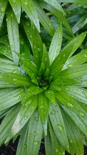 Lily... Water