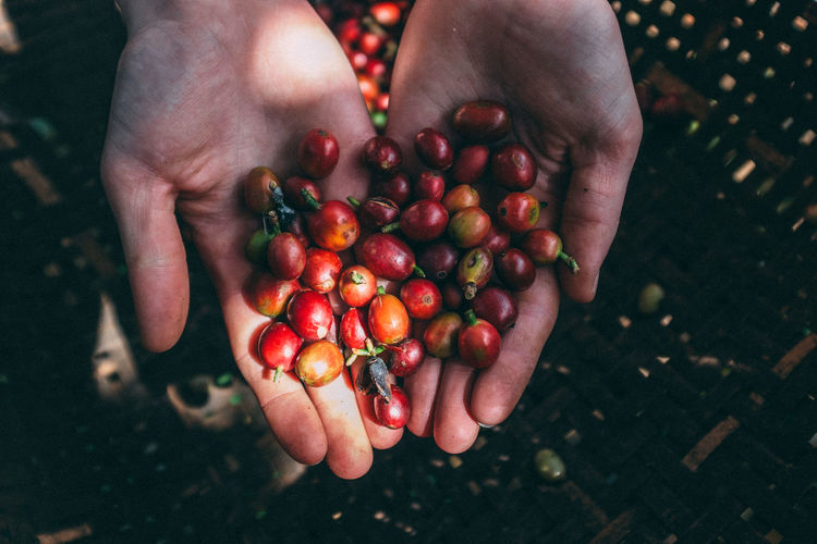 Coffee Coffee Farm Coffee Fruit Dalat Vietnam Adult Close-up Day Focus On Foreground Food Food And Drink Freshness Fruit Healthy Eating Holding Human Body Part Human Finger Human Hand Lifestyles One Person Outdoors People Raw Coffee Bean Real People