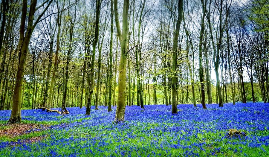 Nature Beauty In Nature Flower Tree Green Color Forest Outdoors Freshness Scenics Tranquility Bluebells Bluebell Wood Bluebells In The Woods Purple Flowers Wiltshire UK