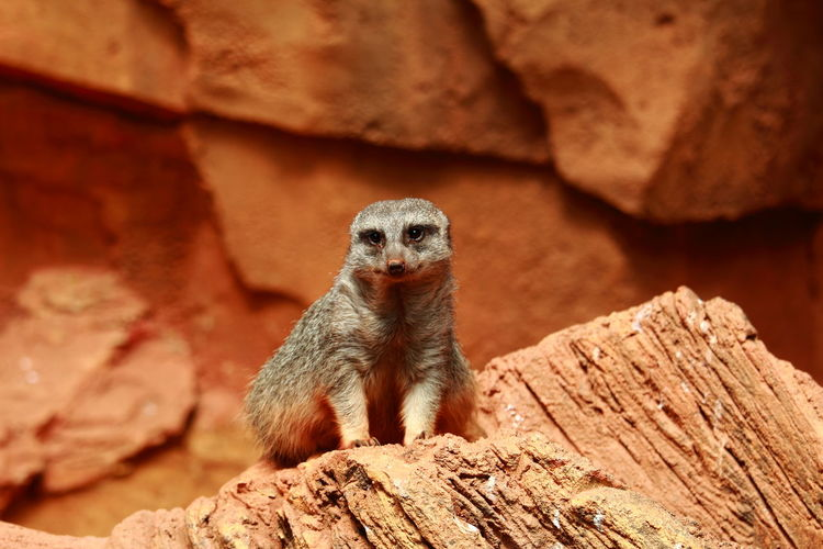 Close-Up Of Meerkat Sitting On Rock At Desert