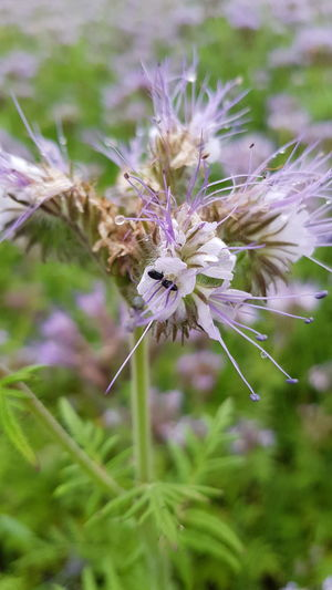 Insect Flower Nature Phacelia Flower Head Animal Wildlife