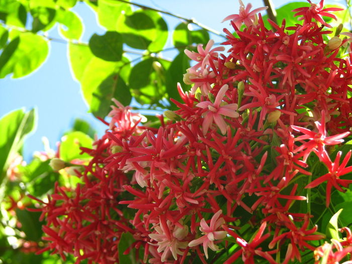 Rangoon Creeper Plant Growth Red Beauty In Nature Plant Part Close-up Leaf Freshness Nature Day Flower Focus On Foreground Flowering Plant Vulnerability  Fragility No People Petal Green Color Sunlight Outdoors Flower Head Rangoon Creeper Rangoon Creeper Flower
