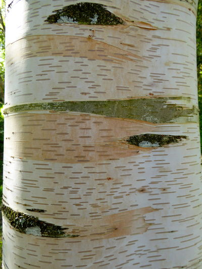 Art In Nature Art In Tree Bark Art Is Everywhere Birch Tree Bark Botany Botany Close-up Close-up Nature Outdoors Patterns In Nature Plant