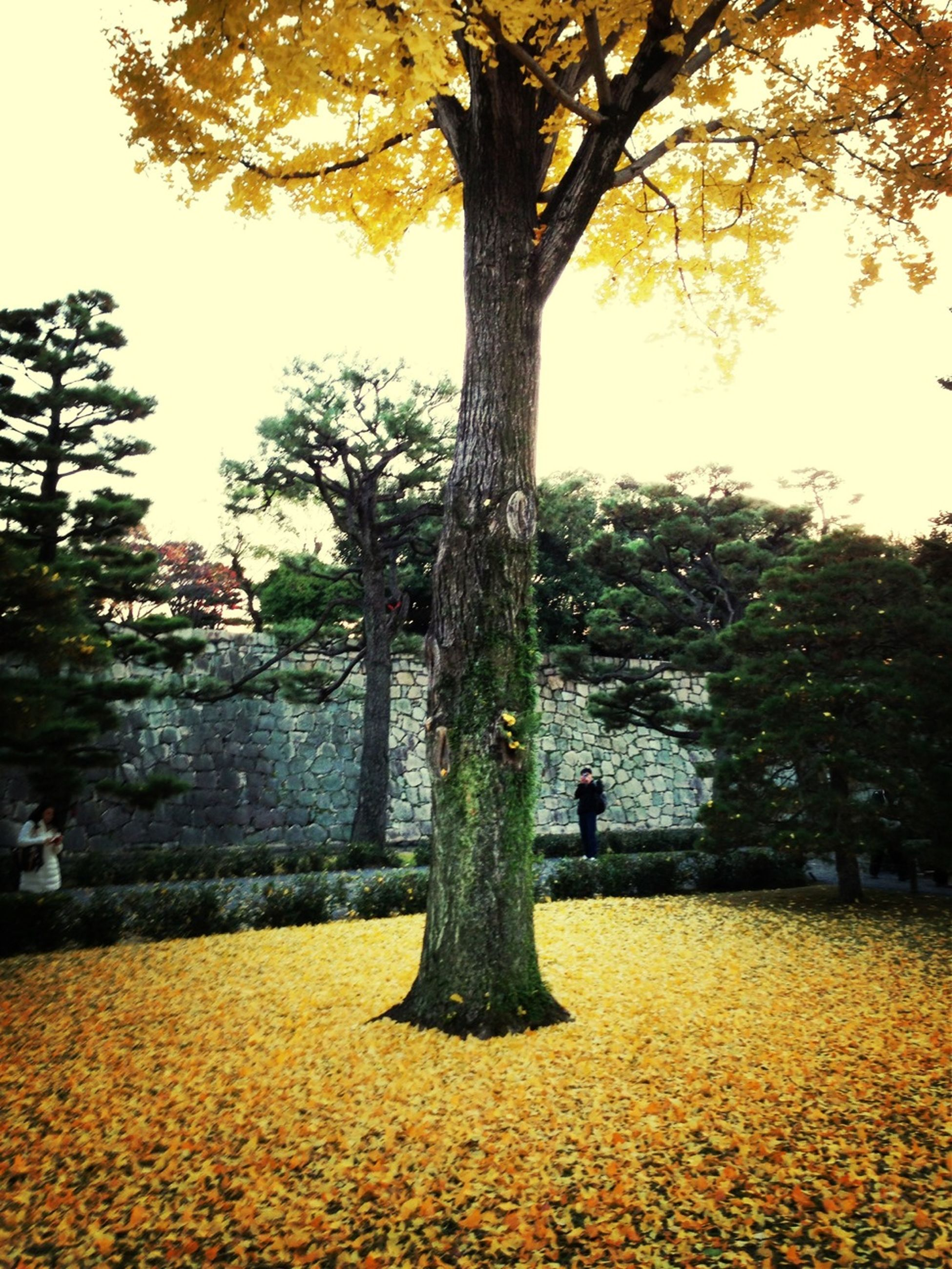tree, autumn, change, yellow, tree trunk, season, growth, branch, nature, leaf, tranquility, beauty in nature, clear sky, tranquil scene, orange color, building exterior, sunlight, park - man made space, outdoors
