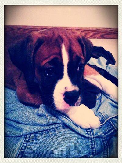 Day 2 (something new) my new boxer baby boy!!! #fmsphotoaday