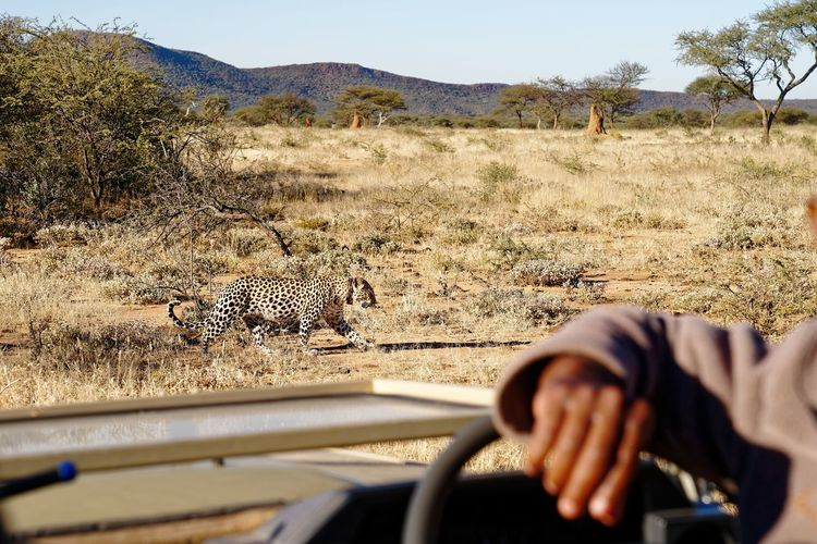 Leopard prowls past open safari vehicle Open Top Car Leopard Okonjima AfriCat Namibia Savannah EyeEm Selects Human Hand Arid Climate Men Point Of View Driving Car Clear Sky Windshield Car Point Of View Windscreen Driver