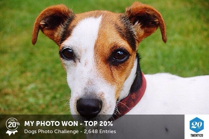 Another Honour Inthe Bag EyeEm Best Shots Dog Pets Twenty20 Taking Photos Eye4photography  Eyeemphotography Jack Russell Giving Thanks Photography