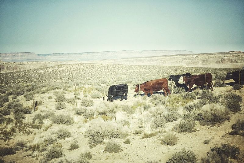 USA Photos Streetphotography Landscape Fresh Scent Travel There Is No Purple Cow Cows On The Road Kiomi Collection Deserts Around The World Streamzoofamily The KIOMI Collection