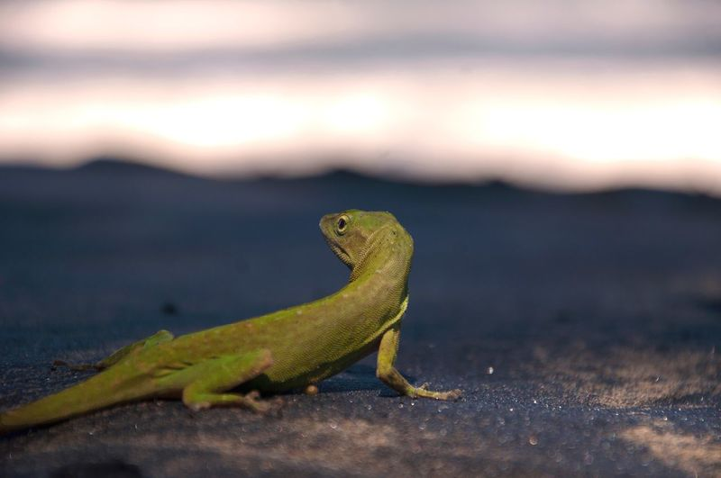 Im having trouble with my computer so I dont have acsess to my photos. bare with me.. Costa Rica EyeEm Best Shots EyeEm Nature Lover EyeEm Best Edits Travel Iguana Reptile Desert Side View Lizard Close-up
