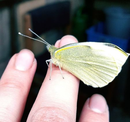 Cabbage white Garden Photography Insects  Wildlife Butterflies Nature
