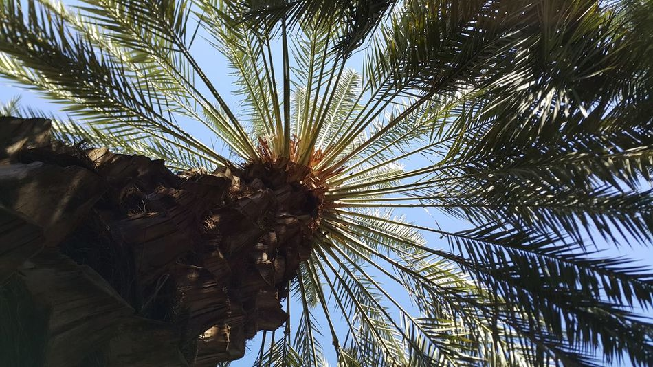 Date palm Showcase: February DatePalm Palm Trees Kurma Madinah Trees Tree Palm Spring Nature Nature_collection Nature Photography Naturelovers