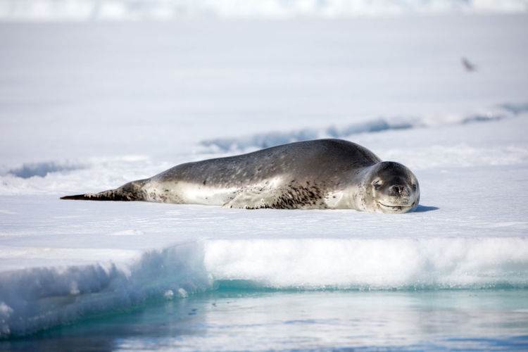 Seal On Snow Covered Shore