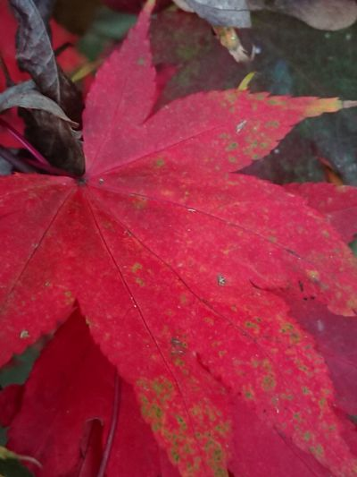 Leaf Nature Red Beauty In Nature No People Outdoors Pink Color Day Autumn Close-up Water Growth Fragility Freshness