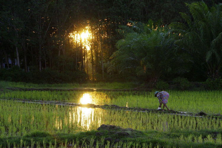 Planting rice in the early morning Agriculture Grass Planting Rice Rice Field Rice Paddy Satun Province Sunlight Across Rice Paddy Sunlight Through Trees Thai Rice Paddy Thailand