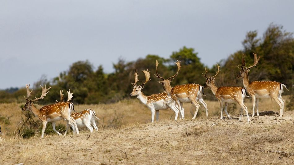 Fallow stags Dunes Of Holland Stag Party Fallow Deer Group Of Animals Animal Animal Themes Animals In The Wild Animal Wildlife Mammal Field