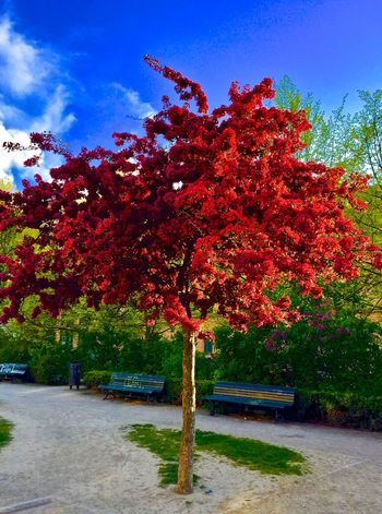 Autumn Beauty In Nature Change City Park City Trees Day Growth Nature No People Outdoors Outstanding Beauty Park - Man Made Space Red Spring Stand Alone Beauty Tranquility Tree Presentation Background
