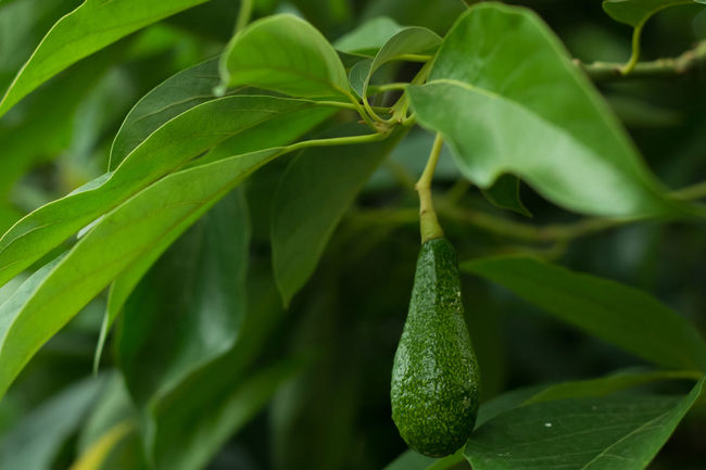 Avacado Tree Avocado Avocado Balls Avocados On Tree Beauty In Nature Bokeh Bunch Fruit Green Color Leaf Nature Plant Ripe Ripe Avocado Ripe Avocados Ripe Fruit Visual Feast